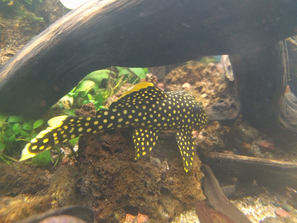 Plecostomus & Algae Eaters