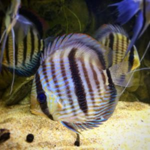 wild caught amazon discus fish for sale