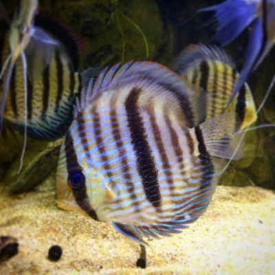 Discus com – The Largest Selection of Premium Discus for Sale Online