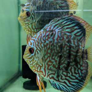 proven discus breeding pairs for sale
