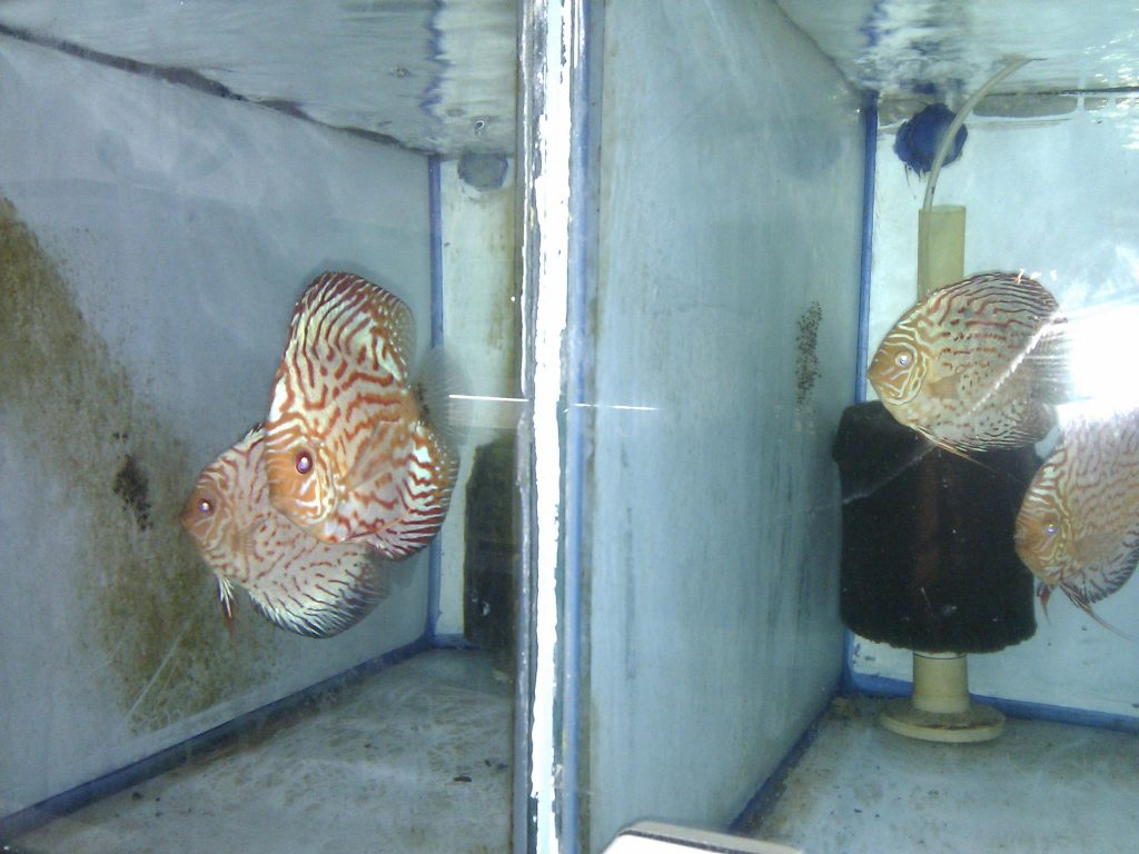 Why the Discus Fish is the Most Profitable Species of