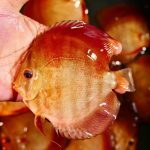 wild discus fish for sale