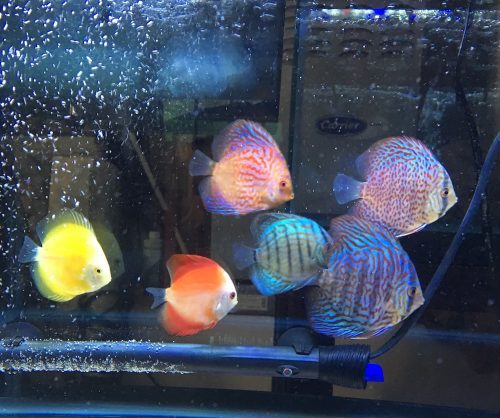 Blue Tiger Turquoise Discus photo review