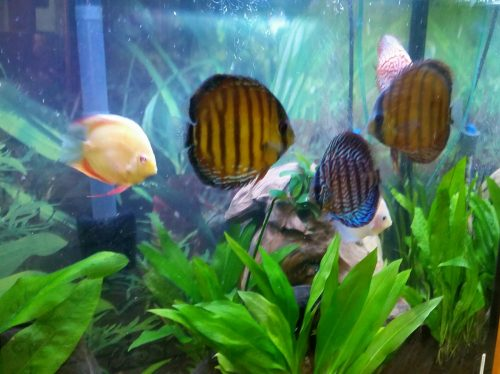 Wild Mangal Discus photo review