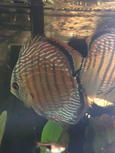 Wild Curua Green Discus photo review