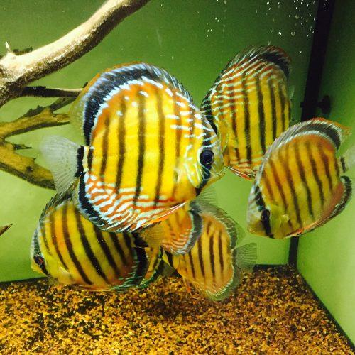 Wild Barra Mansa Discus photo review