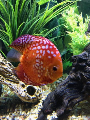 Rafflesia Throwback Discus photo review