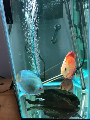 Neon Sapphire Discus photo review
