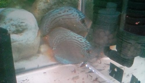 Cobalt Discus, Proven Breeding Pair photo review