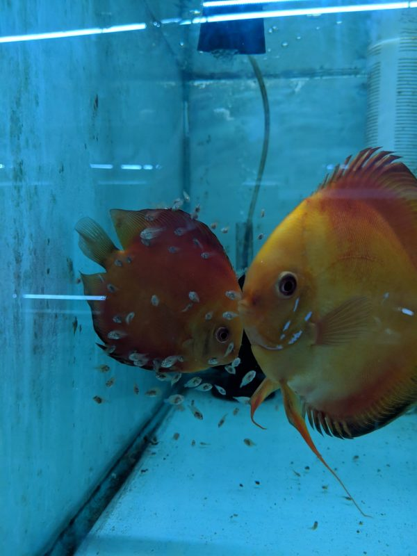 Red Melon Discus Fish, Proven Breeding Pair for Sale