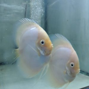 Snow White Discus Fish, Proven Breeding Pair for Sale