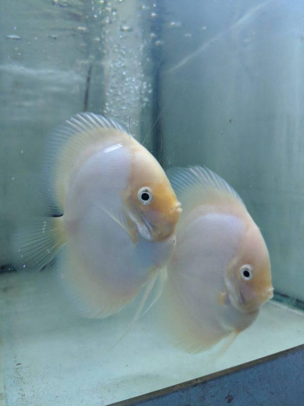 Snow White Discus Fish, Proven Breeding Pair for Sale