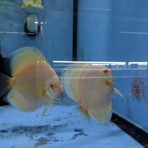 Albino Platinum Discus Fish, Proven Breeding Pair for Sale