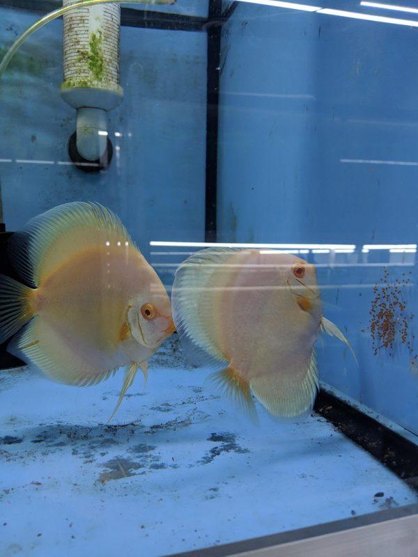 Albino Platinum Discus Fish, Proven Breeding Pair for Sale