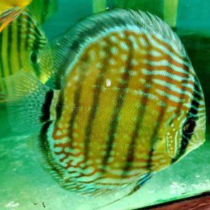 wild discus fish for sale