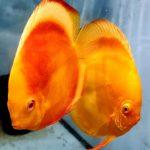 Albino Golden Melon Discus Fish, Proven Breeding Pair for Sale