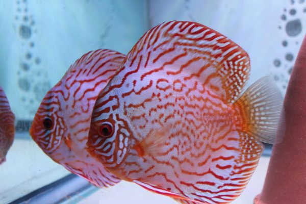 Red Turquoise Discus Fish, Proven Breeding Pair for Sale