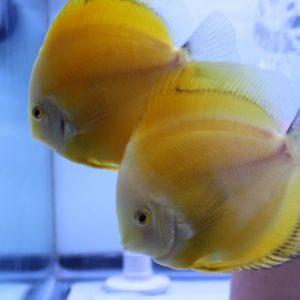 Golden Diamond Discus Fish, Proven Breeding Pair for Sale