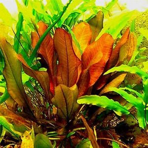 Sword Plants