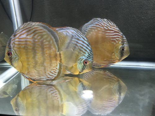 Wild Tefe Red-Spotted Green Discus photo review