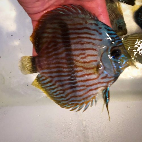 Wild Half Moon Heckel Discus photo review