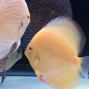 hybrid cultivated discus fish for sale