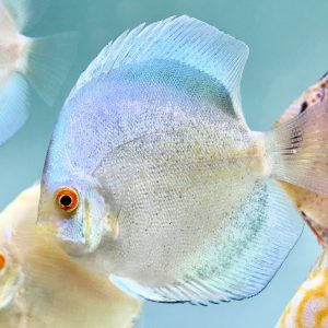 Silver Discus
