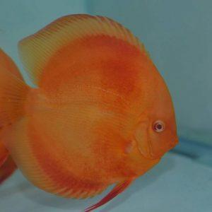 Albino Red Diamond