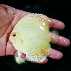 Albino Cobalt