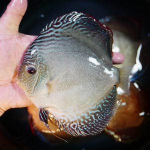 Slate Gray Discus