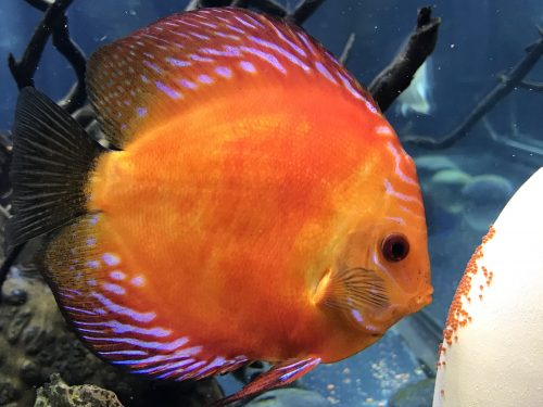 Marlboro Red Panda Discus photo review