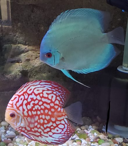 Red Eagle Discus, Honeycomb Pattern photo review