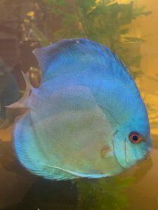 Blue Diamond Discus, Proven Breeding Pair photo review
