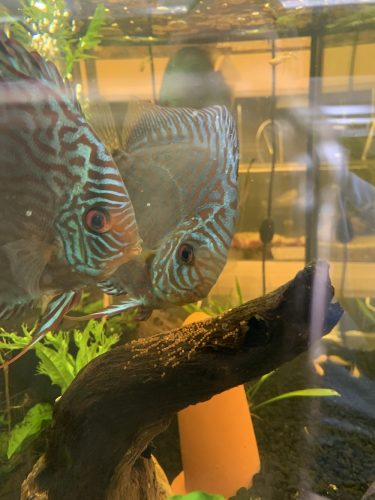 Brilliant Blue Turquoise, Proven Breeding Pair photo review