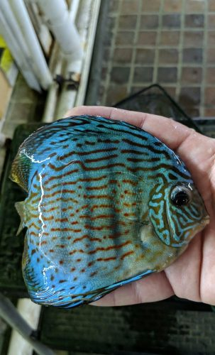 Penang Blue Knight Discus photo review