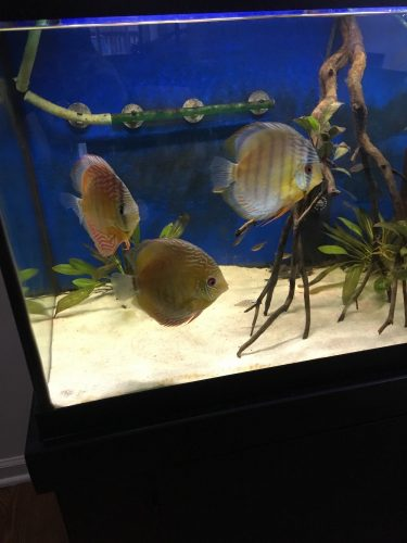 Classic Wild Tefe Green Discus photo review