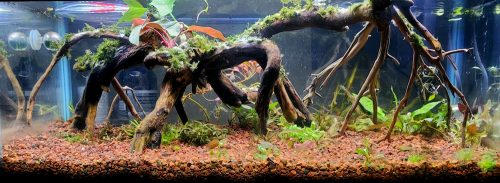 Cryptocoryne Wendtii Florida Sunset Aquarium Plant photo review