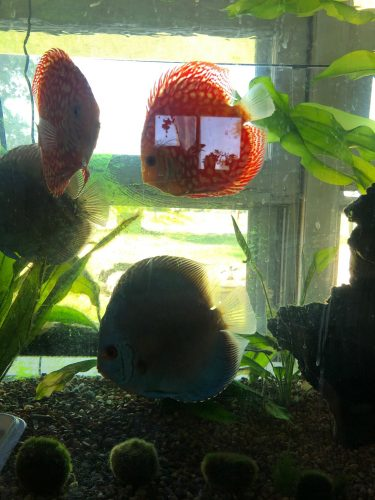 Checkerboard Pigeon Discus, Thick Pattern, Proven Breeding Pair photo review
