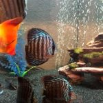 High Bodied Blue Tiger Turquoise Discus photo review