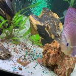 Super Pigeon Snakeskin Discus, Yellow Base photo review