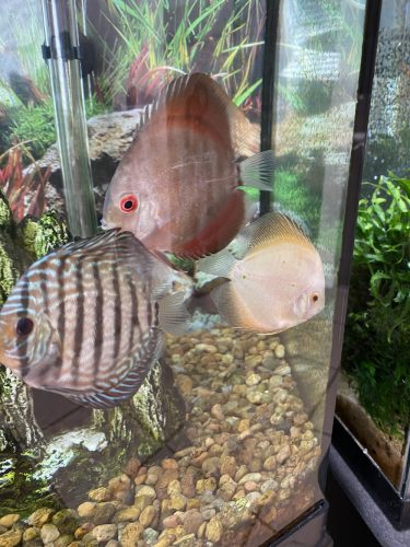 Red Ghost Discus, Light Base photo review