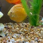 Yellow Pigeon Blood Discus photo review