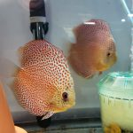 Penang Eruption Discus, Proven Breeding Pair photo review