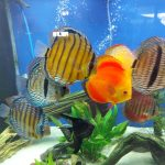 Classic San Merah Discus photo review