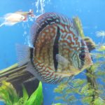 Striated Red Throwback Discus photo review