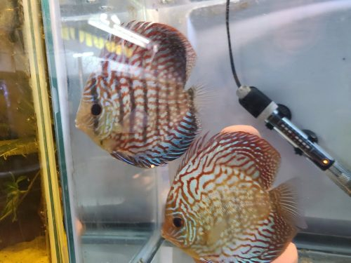 German Red Turquoise Discus, Proven Breeding Pair photo review