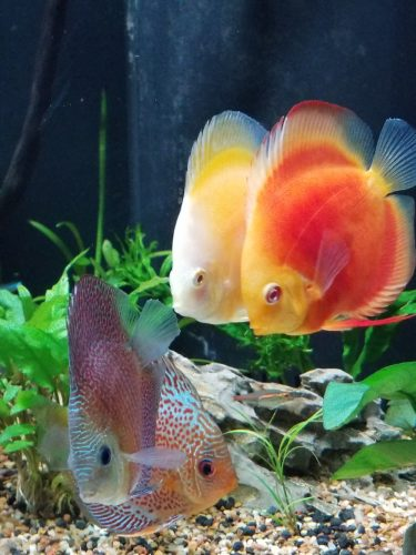Albino Red Golden Melon Discus photo review