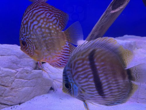 Wild Yellow-Faced Blue Nhamunda Heckel Discus photo review