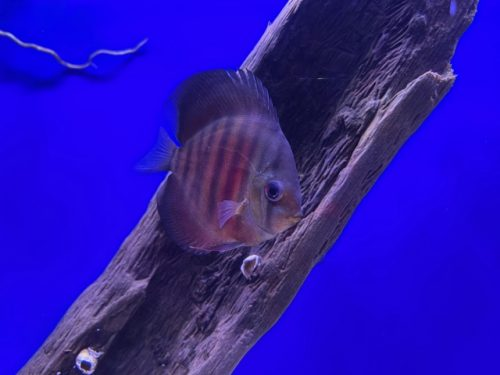 Red F1 Heckel x Alenquer Discus photo review