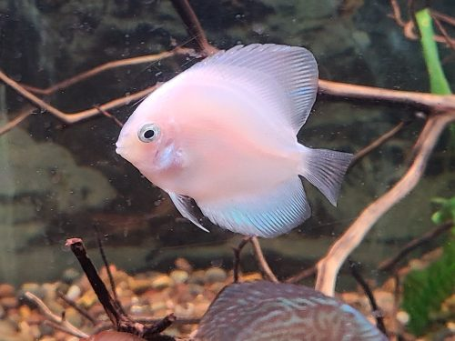 Snow White Discus photo review